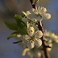 5月18日 白桜