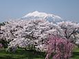 岩木山望む桜並木